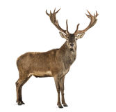 Red deer stag. In front of a white background Stock Photos