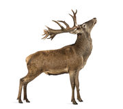 Red deer stag. In front of a white background Royalty Free Stock Photos