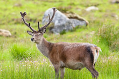Red Deer Stag Stock Photos