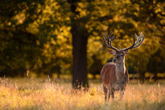 Red Deer Stag in Golden Woodland Royalty Free Stock Photos