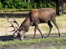 Red deer stag, grazing. Cervus elaphus Royalty Free Stock Image
