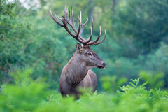 Red deer stag. Great red deer stag in a forest Royalty Free Stock Photography