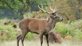 Red Deer stag stock footage