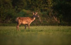 Red deer stag with growing antler in evening sun. stock photography