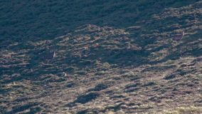 Red deer stag and harem, hinds, cervus elaphus, on a slope within the cairngorms NP during rutting season.