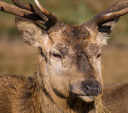 Red deer stag. Having lunch royalty free stock image