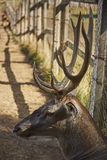 Red deer stag head Royalty Free Stock Image