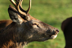 Red Deer stag head. Stock Images
