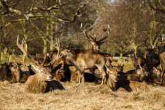 Red Deer Stag With Herd Stock Photo