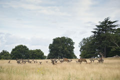 Red deer stag herd in Summer field landscape Stock Photos
