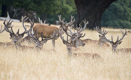 Red deer stag herd in Summer field landscape Royalty Free Stock Photography