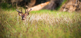 Red deer stag hiding in the tall grass Stock Image