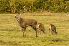 Red Deer Stag with hinds Stock Photography