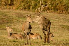 Red Deer Stag with hinds Stock Images