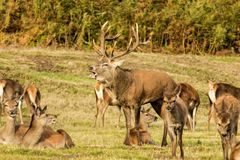 Red Deer Stag with hinds Stock Image