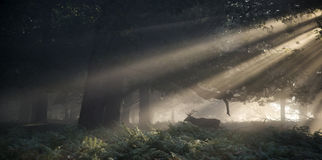 Red deer stag illuminated by stunning sun beams through forest l Stock Photos