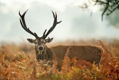 Red deer stag with an injured ear royalty free stock image