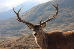 Red, Deer, Stag, Kinlochourn Stock Images