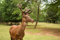 Red deer stag with large antlers in velvet. In forest royalty free stock images