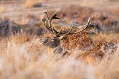 Red Deer Stag Laying in Long Meadow Grass During Autumn. A huge Red Deer stag lays down in long gold and brown meadow grass in Essex, UK with weeds and torn royalty free stock photo