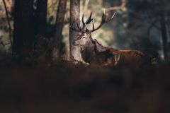 Red deer stag lit by sunlight in autumn forest. royalty free stock photos