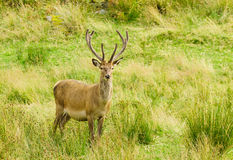 Red Deer stag Stock Images