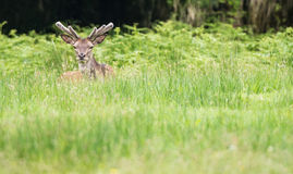 Red deer stag in the long grass Royalty Free Stock Photos