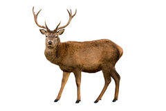 Red deer. Stag looking at camera isolated on white royalty free stock image