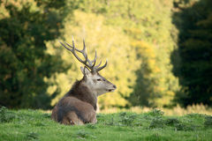 Red deer stag looking out of frame. Red deer taking rest in shadow Royalty Free Stock Photos