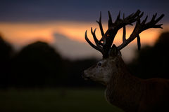 Red Deer Stag Looking Into Sunset Royalty Free Stock Photos
