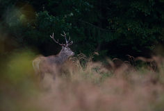 Red Deer Stag Royalty Free Stock Image