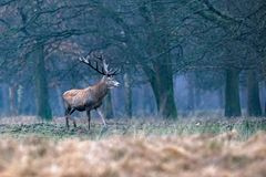Red deer stag in meadow at edge of winter deciduous forest. Red deer stag in meadow at edge of a winter deciduous forest Stock Photos