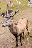 Red deer stag on meadow Stock Images