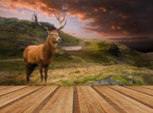 Red deer stag in moody dramatic mountain sunset landscape with w Stock Photography