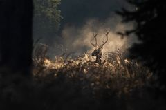 Red deer stag in mornig autumn mist. Red deer stag in the mornig autumn mist. Silhouette of wild animal breathing in a forest. Moody wildlife scenery. Fantasy in royalty free stock images