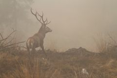 Red deer stag in morning fog Royalty Free Stock Photos