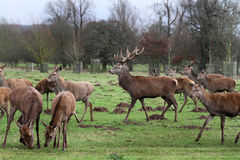 Red deer stag in park land. Royalty Free Stock Photography