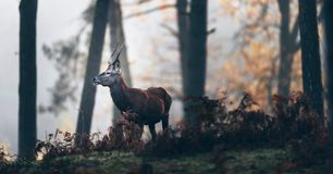 Red deer stag with pointed antlers between autumn ferns. stock images