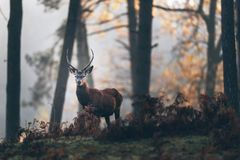 Red deer stag with pointed antlers between ferns of misty autumn. Red deer stag with pointed antlers between ferns of a misty autumn forest stock photo