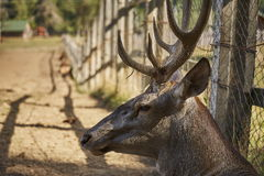 Red deer stag portrait Stock Images