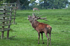 Red Deer Stag Ready for Rutting. Red Deer Stag Issues a Rutting Season Challenge Royalty Free Stock Image