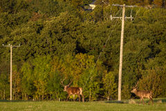 Red deer stag at risk Stock Image