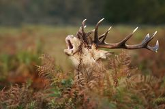 Red deer stag roaring in autumn. UK royalty free stock image