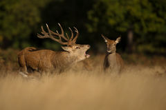 Red deer stag roaring close to the hind Royalty Free Stock Photo
