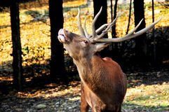 A Red deer stag in rut Royalty Free Stock Photo