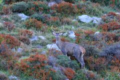 Red deer stag during the rut. Stock Photo