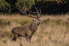 Red Deer Stag During Rut in Richmond Park Royalty Free Stock Image