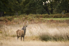 Red deer stag during rut season Stock Images