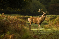 Red deer stag during rut season Stock Image