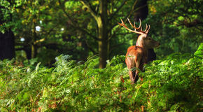 Red deer stag during rut season. Red deer, stag, in Richmond Park London Enlgand landscape during Autumn Fall stock photos